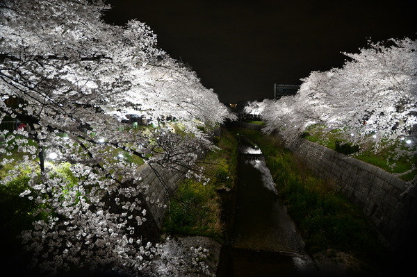 山崎川夜桜2014