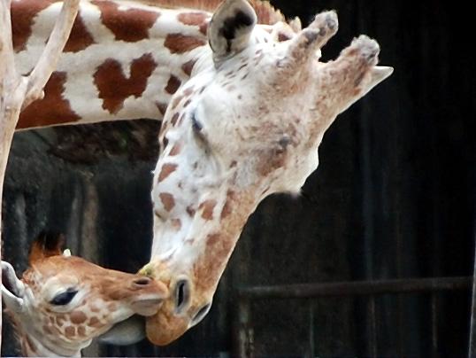 東山動物園 アミメキリンの赤ちゃん