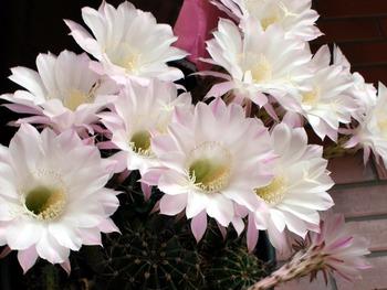 サボテンの花 桃花短毛丸