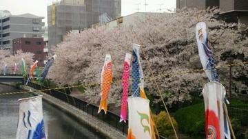 桜&鯉のぼり1