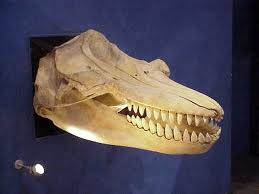 シャチの歯