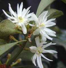 しきみの花
