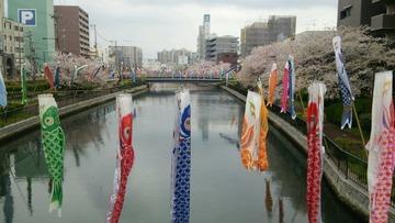 桜&鯉のぼり2
