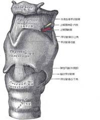 喉頭の軟骨