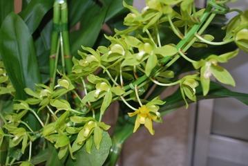 グラマトフィラムの花