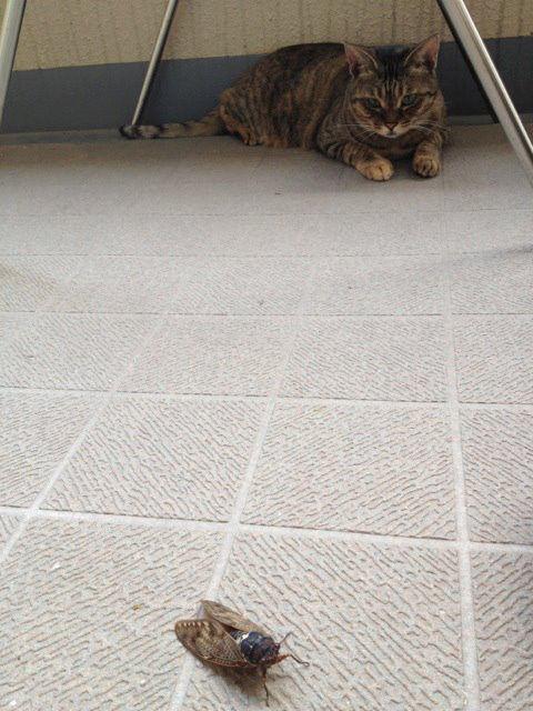 ちー、蝉とのかけひき。猫が猫であることの。