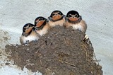 swallows-176140_640