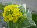 20140307タイニーシュシュの花