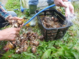 20131208サトイモ洗い
