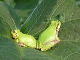 20130809蛙さん