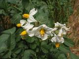 20120527ジャガイモの花4