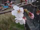 20120409桜開花