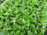 20121217水菜苗