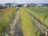 20110526タマネギの収穫2