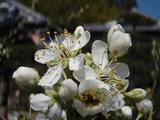 20120412ハタンキョウ開花
