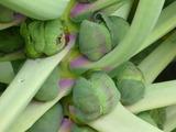 20121217芽キャベツ