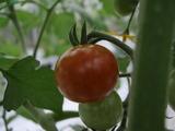 20120522ミニトマト