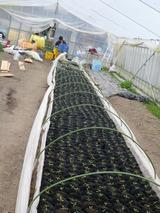 20140226トマト植え替え