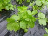 20121217スープセロリー苗