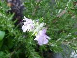 20130826ローズマリーの花