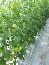20150605トマトの木2