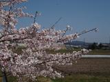 20120412桜1
