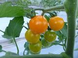20140519ミニトマトオレンジ
