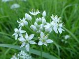 20130825ニラの花