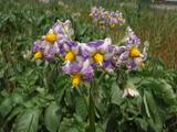 20120527ジャガイモの花2