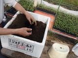 トマト植え替え2