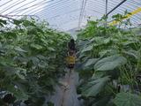 20110918キュウリ収穫