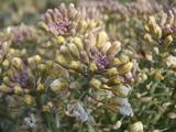 20120113ブロッコリーの花
