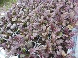 20130930紫からし菜