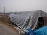 20111221ウド小屋シート張り2