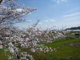 20140402桜1