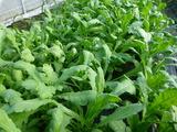 20131115菊菜