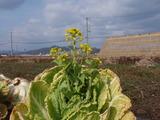 20120303白菜の花