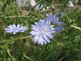 チコリの花