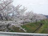 20150402桜1