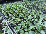 20120817カリフラワー苗