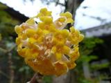 20130313ミツマタの花