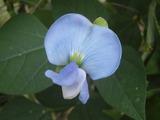 10/14四角豆の花