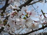 20130404桜2