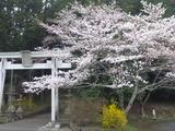 20150402熊野神社の桜