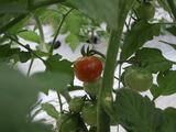 20120522ミニトマト2