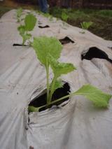 20111202菜花