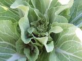 20120229白菜蕾