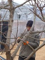 20140206柿の木剪定