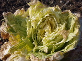 20120229かじり白菜