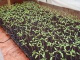 20120218トマト苗2